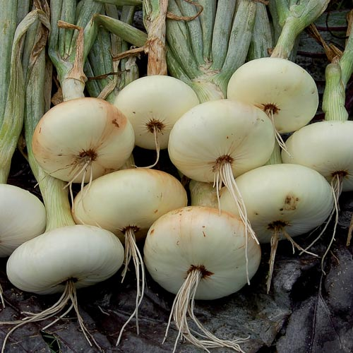 Yellow Borettana Onion