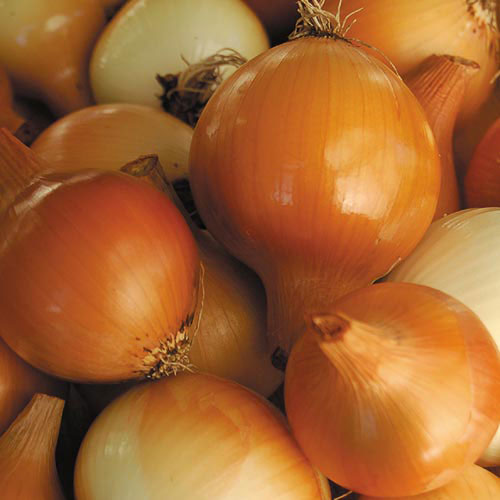 Yellow of Parma Onion