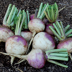 0423-turnip-purple-top-white